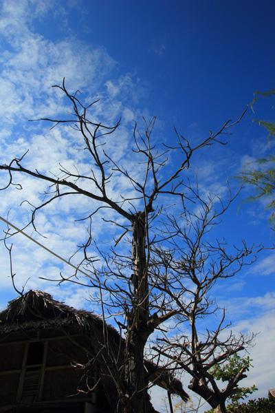 Srew-pine