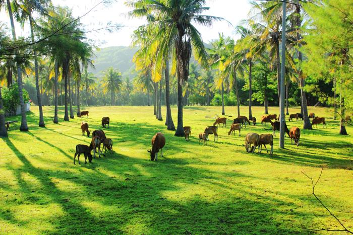 Sapi-sapi yang dilepas bebas di Gili Trawangan