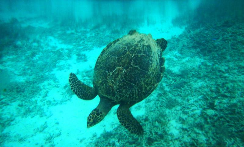 Sang Penyu siap-siap menuju dasar laut setelah menghirup oksigen di permukaan laut