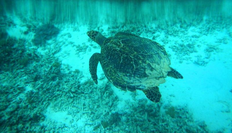 Penyu berenang di perairan Gili Meno