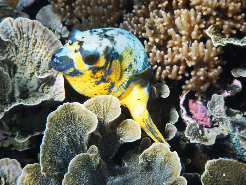 Ikan Buntal by Wet