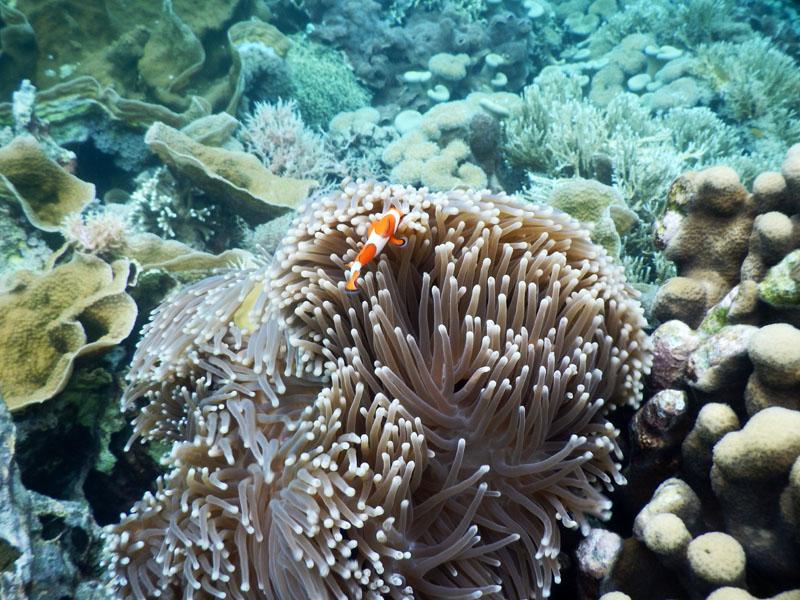 Nemo bersembunyi dibalik anemon