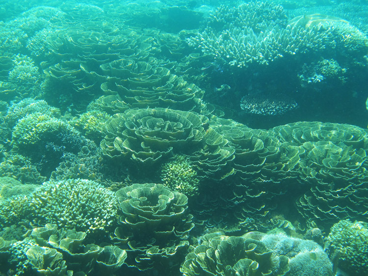 Cabbage Coral by Marlina (Lombok Backpacker)