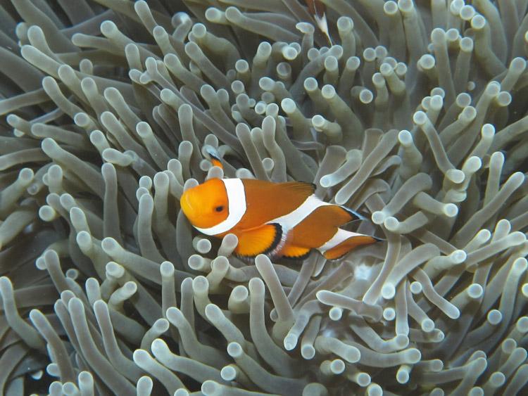 Ikan Badut/Nemo