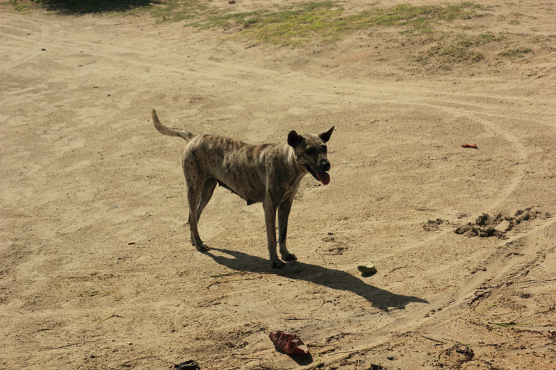 Anjing Pantai Kuta yang berhasil mengoyak-ngoyak pisang gorengku