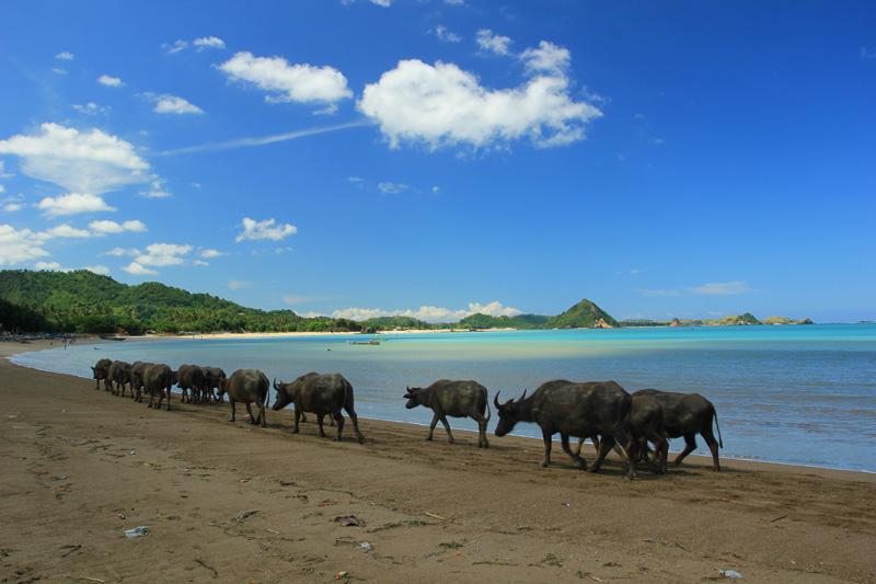 Kawanan Kerbau yang melintas di pantai Kuta