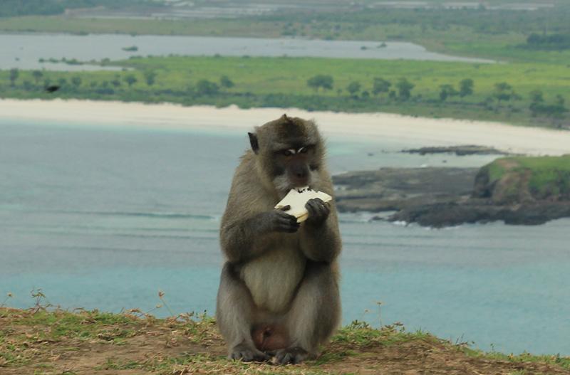 Monyet tak bertuan itu akhirnya makan roti hasil perkelahiannya dengan kami.