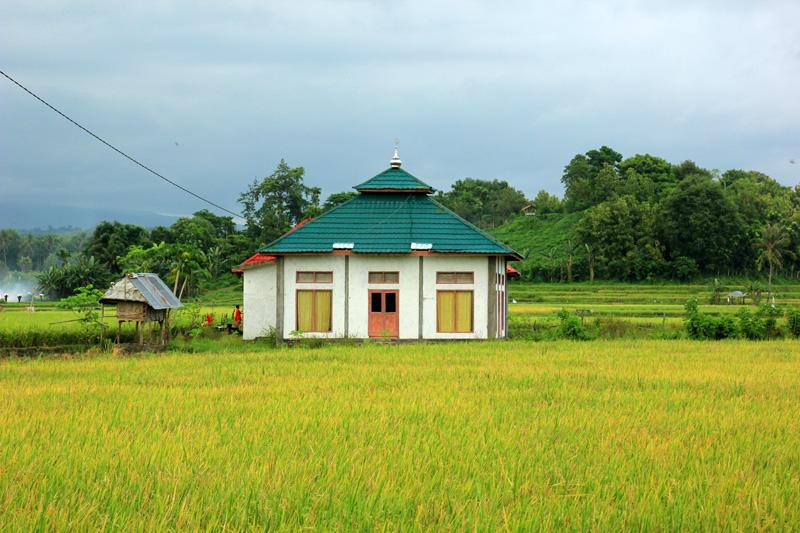Musholla di tengah-tengah sawah-sawah yang sudah menguning di kabupaten Dompu