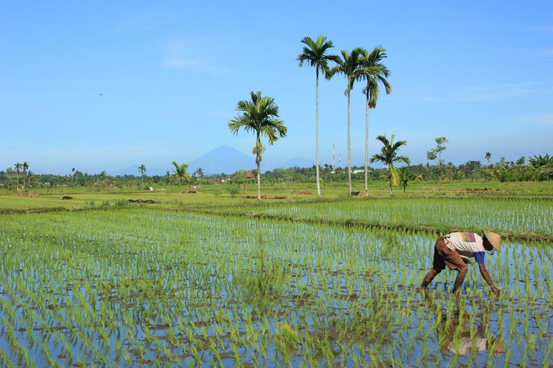 Petani mencabuti rumput sawah dengan latar gunung Agung Bali yang samar-samar