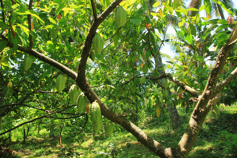 Buah Cacao yang bergelantungan saat menuju Air Terjun Tiu Pupus