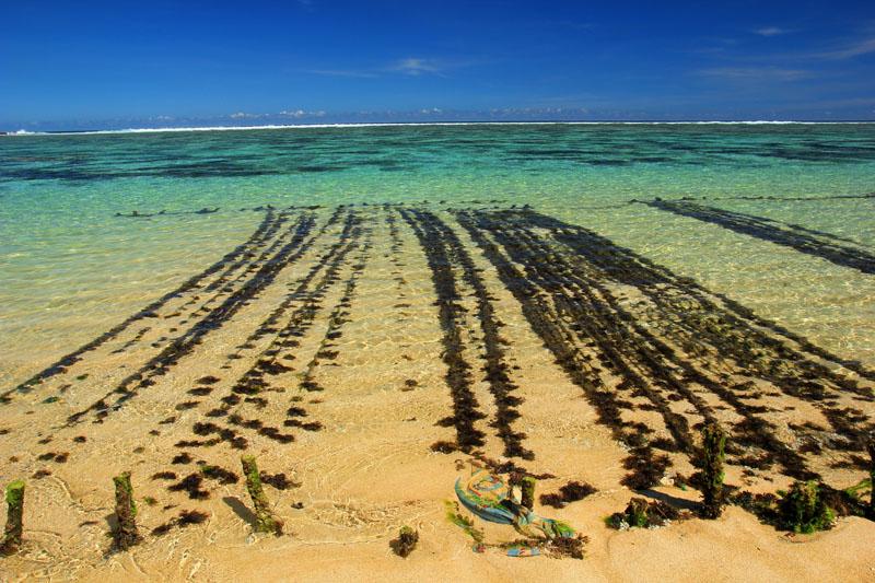 Tanaman Rumput laut di Pantai Nambung